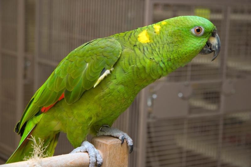 Protect The Roatan Yellow Naped Parrot Roatan Honduras Travel Guide