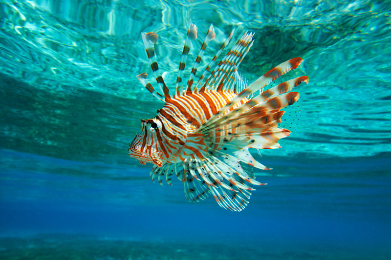 effect of lion fish on reefs The lionfish is an unwelcome predator to any aquatic reef system except it's home in the indian and pacific ocean reefs according to recent literature, the lionfish invasion started accidentally in the florida panhandle when hurricane andrew in 1992 hit the florida coast.